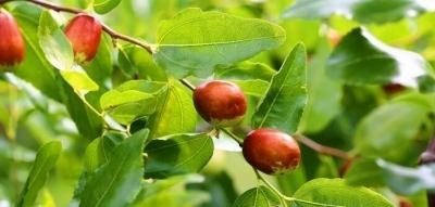 Les feuilles de sidr : bienfaits et utilisations